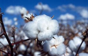 50 BROWN COTTON  Seeds usa seller shipper NON GMO