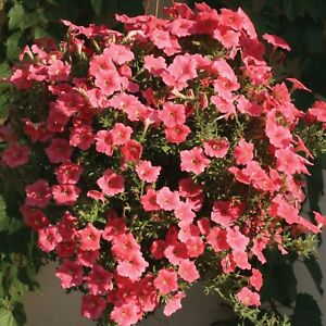 Image Is Loading 6 Trailing Petunia Seeds Easy Wave Salmon Variety