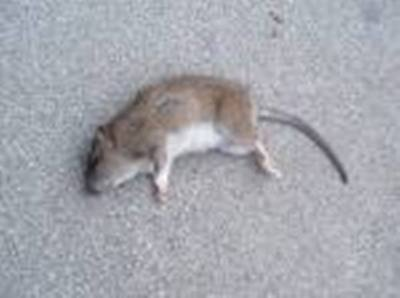 100% PET SAFE Rat Mice Mouse All Natural Poison Food Pest Rodent Control Recipe
