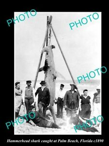 OLD-LARGE-HISTORICAL-GAME-FISHING-PHOTO-OF-HAMMERHEAD-SHARK-CATCH-c1890-FLORIDA