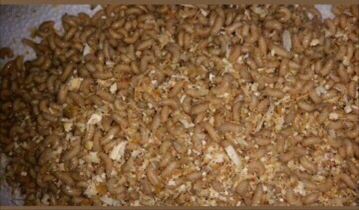 500 Maggots & 500 wax worms waxies Spikes Grubs Live Bait Ice Fishing Bait