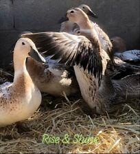 12 Welsh Harlequin Duckfertile Hatching Eggs
