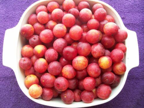 sent in box Prunus americana TWO plants of American Plum