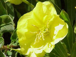 oenothera-Missouriensis-Missouri-Primula-Noche-50-Semillas-Frescas