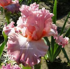"Tall Bearded ""SOCIAL GRACES"" Iris - ROSY LILAC ORCHID PINK '00 * PRE-SALE PLANT"