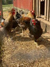 12 Olive Egger Chicken Fertile Hatching Eggs
