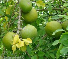 Sweet Aromatic Wood Apple Vilvam Maredu Bael Fruit Plant 1 Plant In Pot