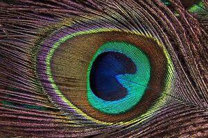 Peacock Feather Art Print Poster A1 A2 A3 A4 A5