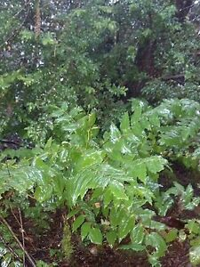 Five-PNW-Oregon-Grape-Mahonia-Aquifolium-Decorative-Evergreen-groundcover-Plants
