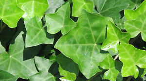 English-Ivy-Live-Cuttings-with-Roots-Ready-to-Plant
