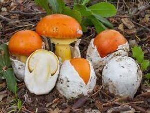 Image Is Loading Caesar 039 S Mushrooms Amanita Caesarea Mycelium Real