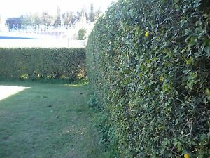 PONCIRUS-TRIFOLIATA-planta-en-florero-cuadro-Naranja