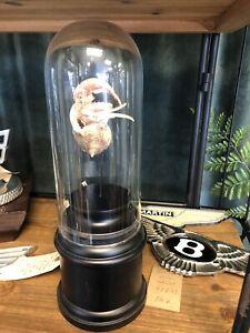 Taxidermia-Hermit-Crab-Calavera-Huesos-Natural-Historia-Curio-Nautico-en-Estuche