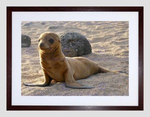 BABY SEAL BEACH SEASIDE BLACK FRAME FRAMED ART PRINT PICTURE MOUNT B12X8755