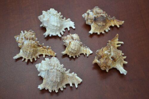 6 PCS ASSORT BROWN MUREX HERMIT CRAB SEA SHELL BEACH DECOR #7012