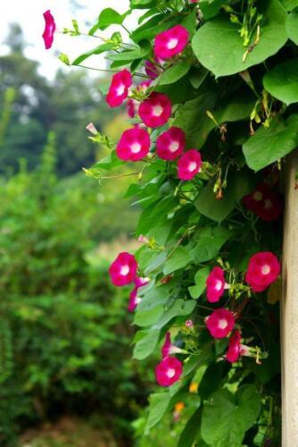 Prunkwinde /'/'Scarlett O/'Hara/'/' 10 Samen seidigen Blüten Ipomea Samen-großen