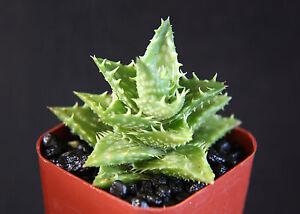 ALOE-JUVENNA-exotic-rare-succulent-cacti-indoor-outdoor-plant-agave-cactus-2-pot