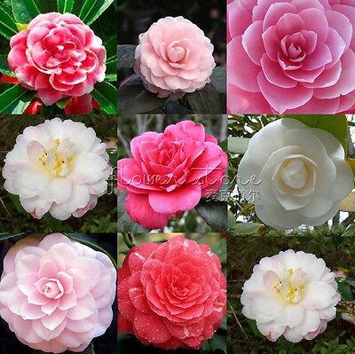 100 DOUBLE CAMELLIA IMPATIENS Seeds  Perennial Flower High Appreciation TT040