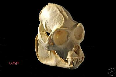 Mono aullador MEXICAN cráneo Réplica