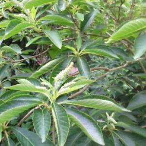 Clethra barbinervis white star japanese clethra sent in 9cm pot ebay image is loading clethra barbinervis white star japanese clethra sent in mightylinksfo