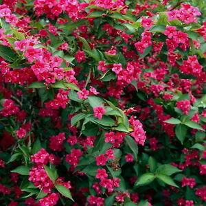 weigela bristol ruby 1 plant ruby red trumpet shaped. Black Bedroom Furniture Sets. Home Design Ideas