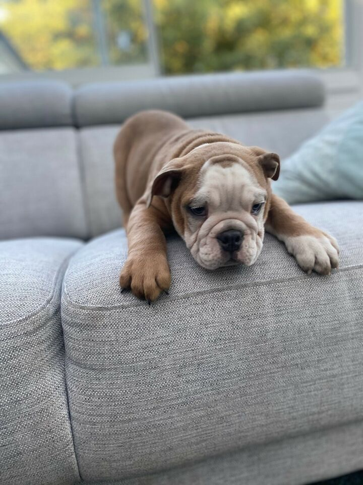 English bulldog, hvalpe, 9 uger