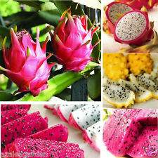 Rare imported Red/White/Yellow Pitaya Dragon Fruit Seed Fragrant Cactus 25 seeds