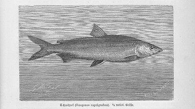 Liberal Nordseeschnäpel Coregonus Oxyrinchus Holzstich Von 1892 Fische Antique Print SchöNe Lustre