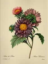 Vintage Redoute Purple Flower Print Aster Botanical Gallery Wall  pjr 1666