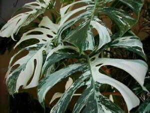 Palm-Tree-Tortue-feuilles-Monstera-panachees-100-Graines-Rare-Arbre-Mixed-Color