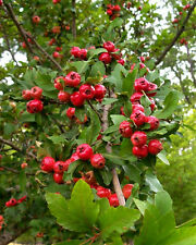 2 LIVE PLANTS HEIRLOOM MAYHAW TREES MAY HAW APPLE HAWTHORN FRUIT LANDSCAPING.