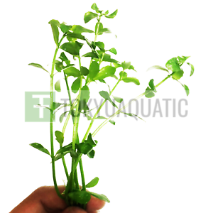 Bacopa-Monnieri-Moneywort-Brahmi-Stem-Bundle-Freshwater-Live-Aquarium-Plants-Ada