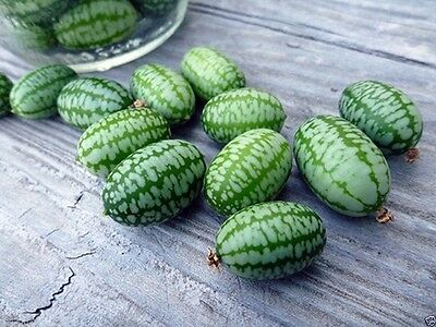 Mexican Sour Gherkin Cucumber,25 Seeds ! looks like miniature watermelons.