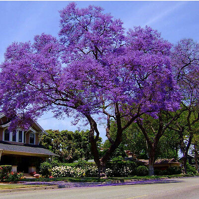 Jacaranda Mimosifolia Jacaranda Tree 15 Seeds Fresh Harvest 2020 Bonsai Ebay