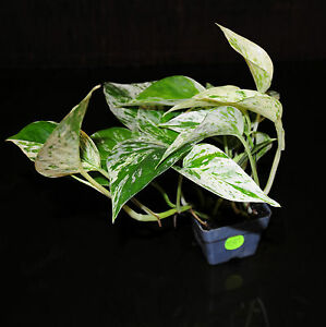 Marble queen pothos 3 pots easy tropical vining house for Easy large house plants