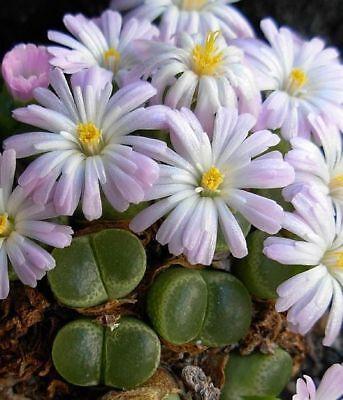 Conophytum lydiae     10 seeds