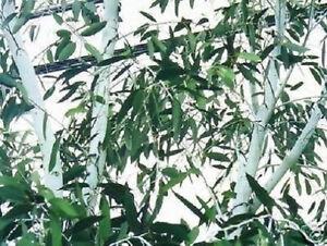 winterfester-weisser-Schnee-Gummibaum-Duftbaum-Eukalyptusbaum-Samen
