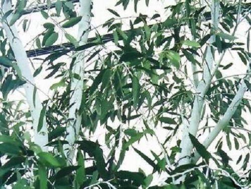 winterfester weisser Schnee-Gummibaum Eukalyptusbaum für Haus /& Garten Samen