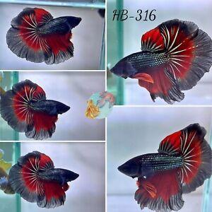 (HB-316) Red Star Dragon Scale Halfmoon - Live Halfmoon Betta Fish High Quality