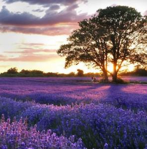 100Pcs-Provence-Lavender-Grass-Seeds-Rare-Kind-Bonsai-Pereninal-Fragrant-Field