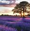 100Pcs-Provence-Lavender-Grass-Seeds-Rare-Kind-Bonsai-Pereninal-Fragrant-Field thumbnail 1