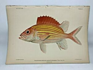Antique-Lithographic-Print-Reef-Fishes-Hawaiian-Islands-Bien-1903-Plate-11