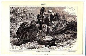 ca-1890-Vultures-Griffon-Vulture-Egyptian-Vulture-Antique-Lithograph-Print