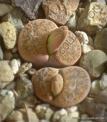 RARE LITHOPS LESLIEI MINOR @ exotic living stone rock cactus cacti seed 15 SEEDS