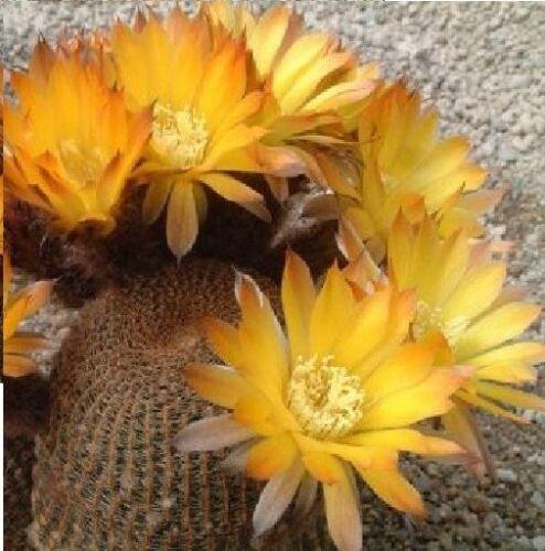 Fleur-Cactus-LOBIVIA famatimensis 20 graines