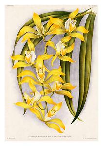 Cymbidium-Lowianum-Flaveolum-by-Jean-Linden-Orchids-A4-Art-Print