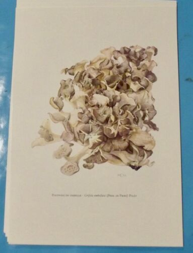 Planche poster Affiche art print Botanique Champignon Polypore en ombelle poule