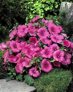 LAVATERA-034-LOVLINESS-034-EXCELLENT-PERFORMANCE-EASY-TO-GROW-50-SEEDS