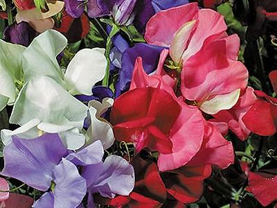 Sweet  Pea 'BIJOU Mix' bush flower garden 20 seeds