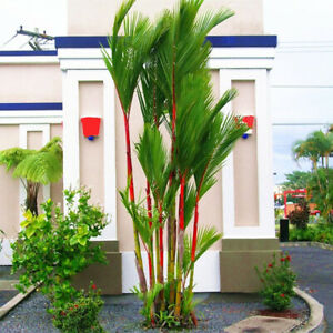 20Pcs-Cyrtostachys-Renda-Tree-Seeds-Bonsai-Pot-Plant-Home-Yard-Garden-Decors-HOT